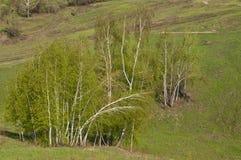 桦树横向 免版税库存图片