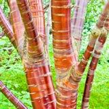桦树樱桃树 库存照片