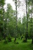 桦树沼地 库存照片
