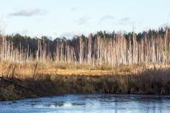 桦树沼泽 库存图片