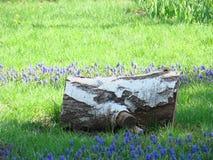 桦树注册绿色草坪 在草的桦树树桩 库存图片