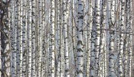 桦树点燃与阳光神色当与原图的印刷品织品在俄国样式 免版税图库摄影