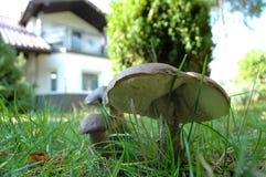 桦树牛肝菌蘑菇 图库摄影