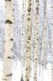 桦树特写镜头在一个多雪的森林里 库存照片