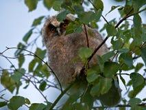 桦树猫头鹰之子湿的雨豆树 免版税库存照片