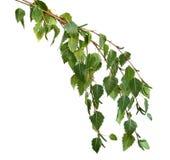 桦树留下银 免版税库存图片