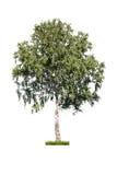 桦树白色 库存照片