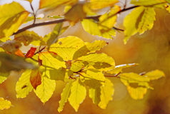 桦树的五颜六色的叶子 库存图片