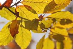 桦树的五颜六色的叶子 库存照片