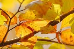 桦树的五颜六色的叶子 免版税库存照片