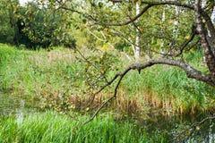 桦树的分支弯曲了在水厂 免版税库存图片