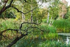 桦树的分支弯曲了在水厂 图库摄影