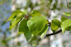 桦树的分支 库存照片