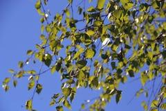 年轻桦树的叶子反对清楚的天空的 免版税图库摄影
