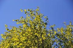 年轻桦树的叶子反对清楚的天空的 库存照片