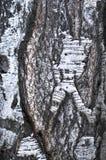 桦树的吠声 免版税库存图片