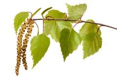 桦树的枝杈 库存图片