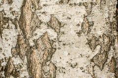 桦树的纹理基体的 免版税库存图片