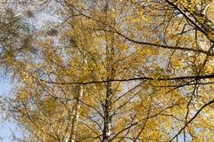桦树的被染黄的叶子 免版税库存照片