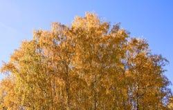 桦树的金黄冠在蓝天背景的 免版税库存照片