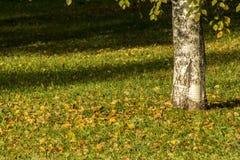 桦树的黄色秋叶在树的 秋天明亮的颜色 库存照片
