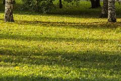 桦树的黄色秋叶在树的 秋天明亮的颜色 免版税图库摄影