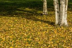 桦树的黄色秋叶在树的 秋天明亮的颜色 免版税库存照片