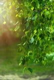 桦树的绿色叶子在雨中在黎明 免版税库存照片