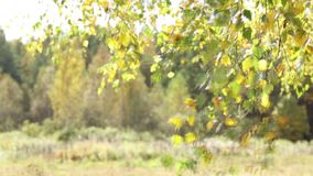 桦树秋叶在风摇摆 股票录像