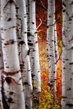 桦树秋天叶子 免版税库存图片