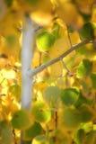 桦树秋天叶子 库存照片