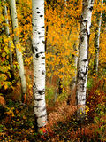 桦树秋天叶子 免版税图库摄影