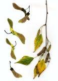 桦树秋天枝杈 免版税库存照片