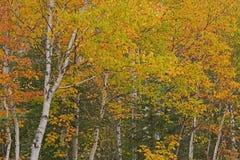 桦树秋天森林  免版税库存照片
