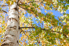桦树秋天留下黄色 库存图片