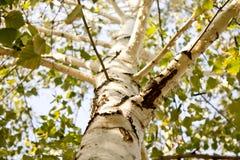 桦树秋天 库存照片