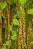 桦树种子  免版税图库摄影