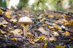 桦树空白牛肝菌的mooshrooms 库存照片