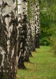 桦树线路结构树 库存图片