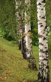 桦树线路结构树 免版税库存图片