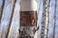 桦树背景 图库摄影