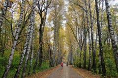 桦树胡同在公园在秋天 免版税库存图片