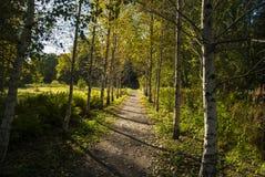 桦树胡同在秋天晴天 免版税库存图片