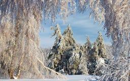 桦树自然曲拱  免版税库存图片