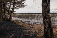 桦树芦苇和湖 图库摄影