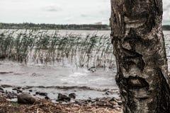 桦树芦苇和湖 库存照片