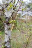 桦树花粉 免版税库存图片