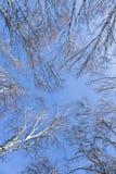 桦树蓝色深天空 图库摄影