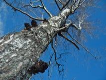 桦树蘑菇春天 免版税库存图片