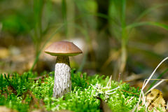 桦树蘑菇 免版税图库摄影